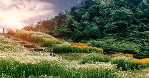 雏菊在山小山的花田风景看法  图库摄影