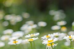 雏菊在庭院里全部以黄绿色 免版税库存图片