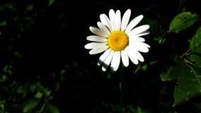 雏菊在庭院里 免版税库存照片