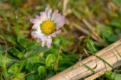 雏菊在早晨露水的一个绿色草甸站立 免版税库存照片