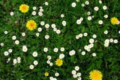雏菊在绿草和蒲公英的背景中 免版税库存图片