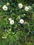 雏菊在草关闭  库存图片