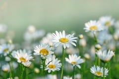 雏菊在草甸和庭院 库存图片