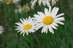 雏菊在草甸 免版税库存图片