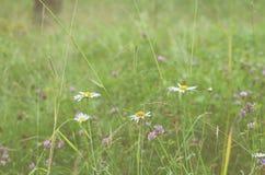 雏菊在雨以后的有薄雾的庭院里 免版税图库摄影