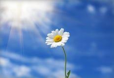 雏菊太阳的花伸手可及的距离 免版税库存照片