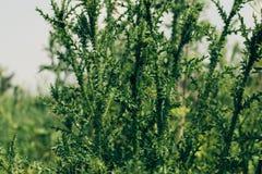 雏菊家庭草本植物照片,与多刺的词根和叶子和紫色花被环绕的头叫乳蓟 免版税图库摄影