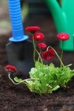 雏菊幼木在土壤的 免版税库存照片