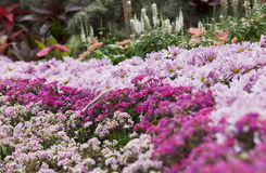雏菊庭院粉红色 库存照片