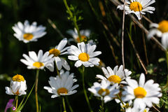 雏菊开花白色 库存照片