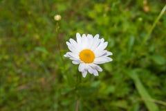 雏菊开花白色 库存图片