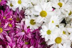 雏菊开花背景,美丽的雏菊花特写镜头  免版税库存照片