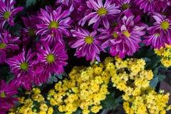 雏菊开花背景,美丽的雏菊花特写镜头  库存图片