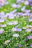 雏菊开花背景,美丽的雏菊花特写镜头  免版税图库摄影