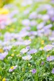 雏菊开花背景,美丽的戴西花特写镜头  免版税库存图片