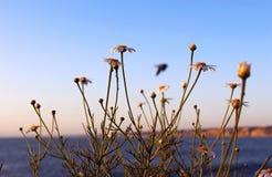 雏菊或向日葵,拉霍亚海岸,加利福尼亚标志 免版税库存图片