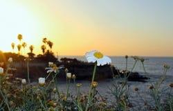 雏菊或向日葵,拉霍亚海岸,加利福尼亚标志 库存图片
