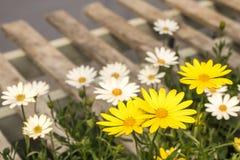 雏菊春天在木板台在模糊的被弄脏的背景中开花,有新鲜的气味和木头五谷的 免版税库存照片