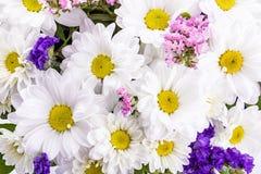 雏菊春黄菊,延命菊,在白色backg隔绝的春黄菊 免版税库存照片