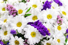 雏菊春黄菊,延命菊,在白色backg隔绝的春黄菊 库存照片