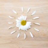 雏菊有瓣的头状花序 免版税库存图片