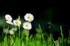 雏菊有绿草背景 免版税图库摄影