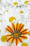 雏菊杂色菊属植物模式 免版税图库摄影