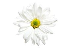 雏菊查出的白色 库存图片