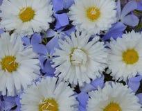 雏菊植物群瓣秀丽庭院雏菊绽放花春天花卉雏菊flowe的织品纹理新花束绿色样式领域 免版税库存图片