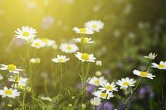 雏菊深度非常域短小白色 库存图片