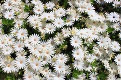 雏菊深度非常域短小白色 免版税库存照片