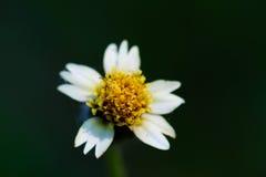 雏菊深度非常域短小白色 图库摄影