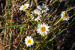 雏菊深度非常域短小白色 免版税图库摄影