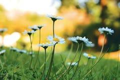 雏菊特写镜头在草的 免版税库存图片