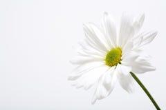 雏菊白色 免版税库存图片