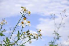 雏菊白花绽放本质上反对天空蔚蓝背景的 免版税库存图片