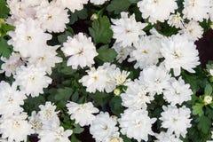 雏菊的域 背景开花白色 宏观观点的雏菊 在绽放的雏菊 库存照片