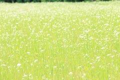 雏菊的域 库存照片