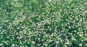 雏菊的域 免版税库存照片