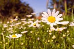 雏菊的浪漫狂放的领域与焦点的在一朵花 库存照片