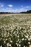 雏菊的领域在一个晴朗的夏日 库存图片