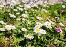 雏菊的领域在一好日子在春天 免版税库存照片
