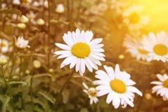 雏菊的领域在夏天 免版税图库摄影