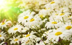 雏菊的领域在日落的 图库摄影