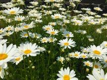 雏菊的领域在明媚的阳光下的 库存图片