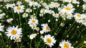 雏菊的高明亮的领域 库存照片