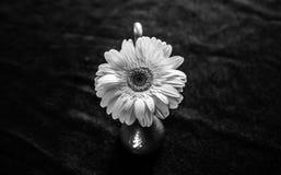 雏菊的画象 免版税库存图片