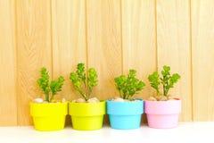 雏菊结构树的收集在五颜六色的花盆的。 免版税库存照片