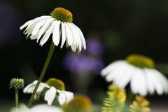 雏菊背景 库存图片