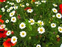 雏菊艾里斯perennis的嫩绽放和红色鸦片罂粟属rhoeas在好日子开花 夏天花关闭 图库摄影
